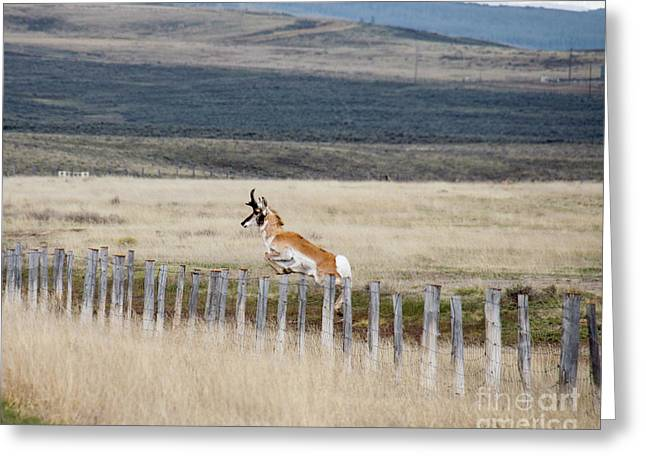 Greeting Card featuring the photograph Antelope Jumping Fence 1 by Rebecca Margraf