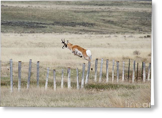 Greeting Card featuring the photograph Antelope Jumping Fence 2 by Rebecca Margraf