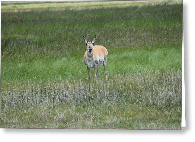 Prong Horned Antelope Lake John Swa Co Greeting Card