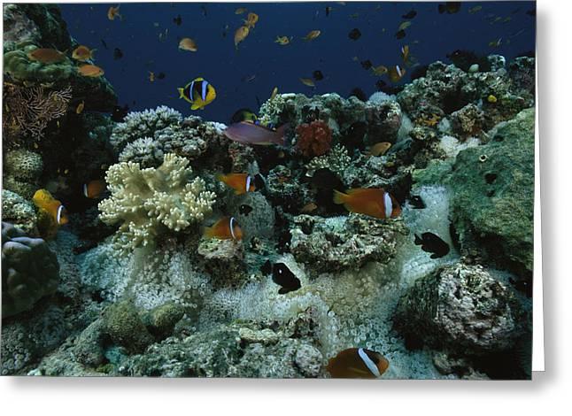 Anthias Fish, Anemonefish And Basslets Greeting Card by Tim Laman