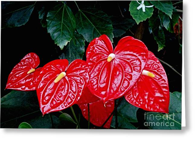 Anthurium Andreanum Greeting Card by Yvonne Johnstone