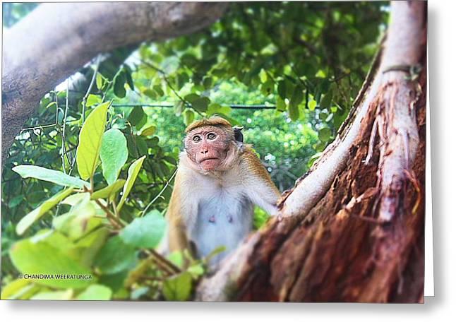 Anticipating Monkey Greeting Card