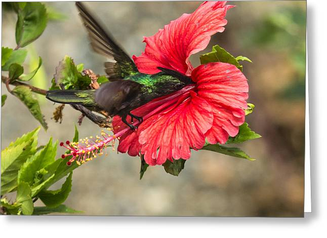 Antillean Crested Hummingbird Greeting Card by Bj Lewis