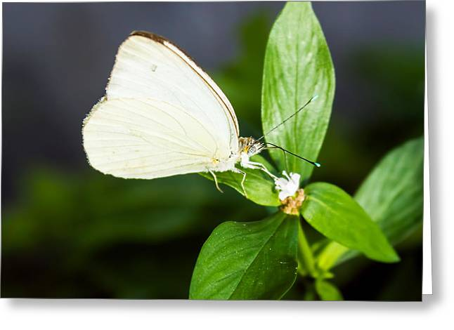 Antillean White Greeting Card by Steven Parker