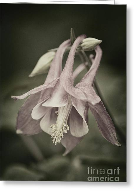 Greeting Card featuring the photograph Antique Columbine - D010096 by Daniel Dempster