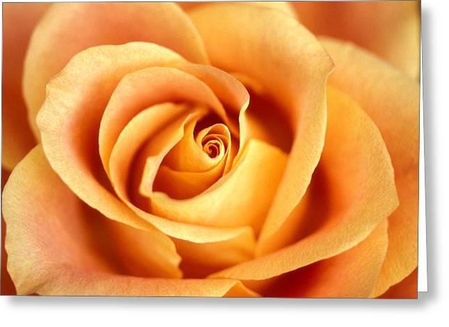 Rose Greeting Cards Greeting Cards - Antique Rose Greeting Card by Kathy Yates