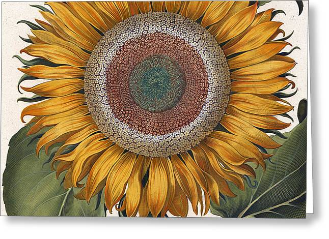 Antique Sunflower Print Greeting Card by Basilius Besler