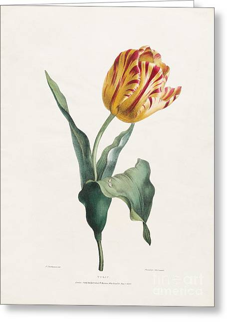 Antique Tulip Print Greeting Card by Valentine Bartholomew