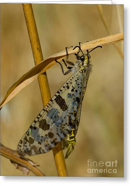 Antlion In Greece Greeting Card by Steen Drozd Lund