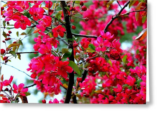 Apple Blooms Greeting Card by Gigi Kobel