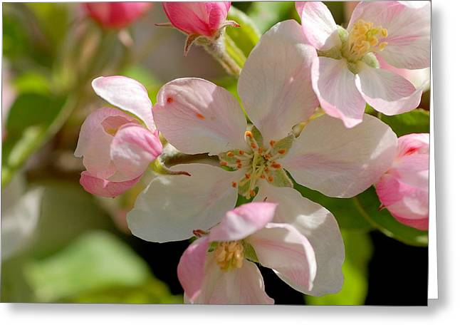 Apple Blossom 2 Greeting Card by Scott Gould