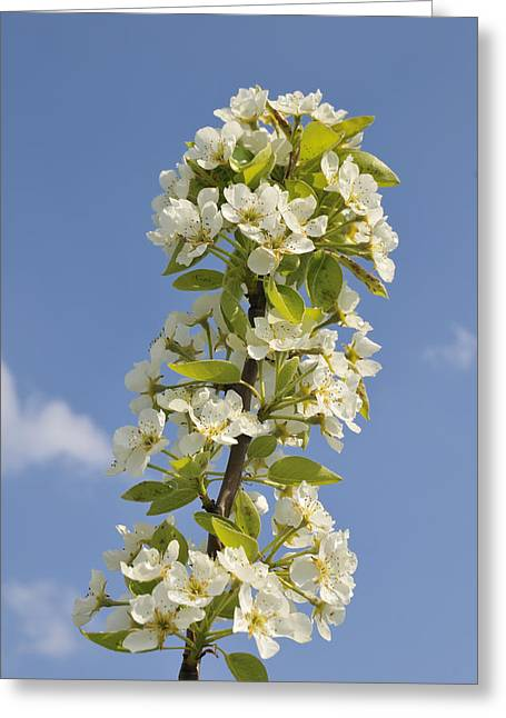 Apple Blossom In Spring Greeting Card by Matthias Hauser