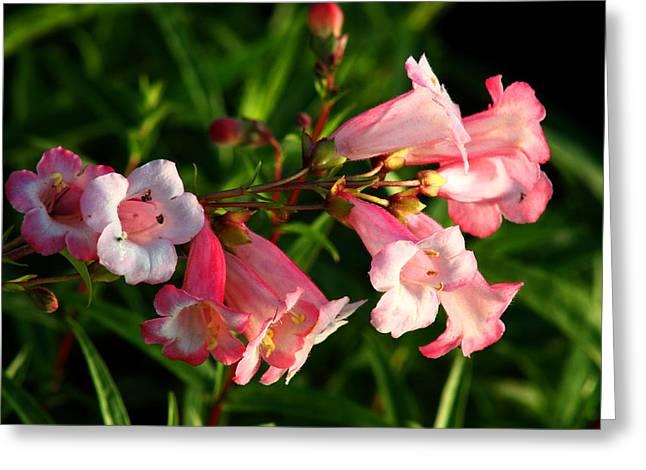 Apple Blossom Penstemon Greeting Card