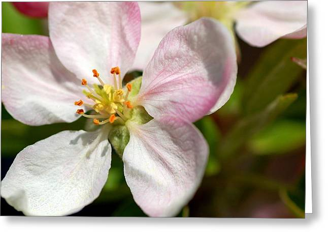 Apple Blossom Greeting Card by Scott Gould
