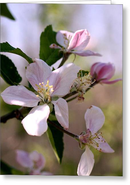 Greeting Card featuring the photograph Apple Blossom Time by Diane Merkle