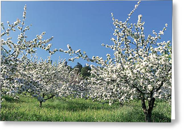 Apple Blossom Trees Norway Greeting Card
