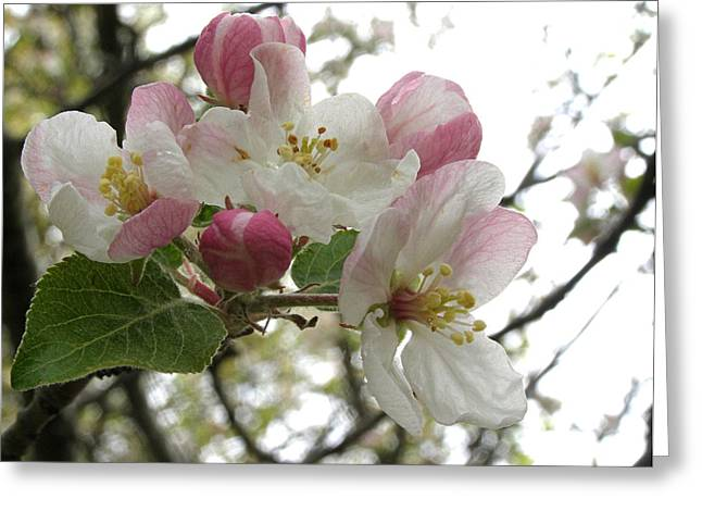 Greeting Card featuring the photograph Apple Blossoms - Wild Apple by Angie Rea