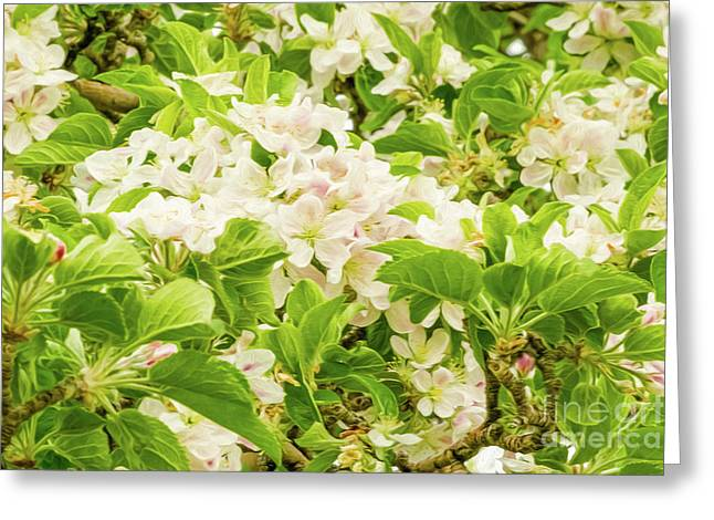 Apple Blossoms 5 Greeting Card