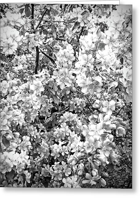 Apple Blossoms Black And White  Greeting Card by Aimee L Maher Photography and Art Visit ALMGallerydotcom