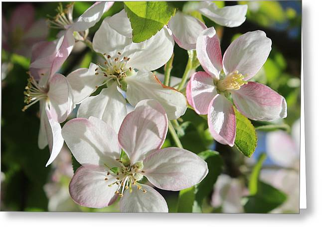 Apple Blossoms Square Greeting Card by Carol Groenen