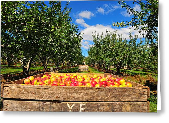 Ice Wine Greeting Cards - Apple Picking Season Greeting Card by Catherine Reusch  Daley