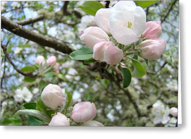 Apple Tree Blossoms Art Prints Apple Blossom Buds Baslee Troutman Greeting Card by Baslee Troutman