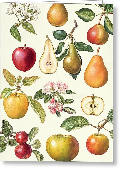Apples And Pears Greeting Card by Elizabeth Rice