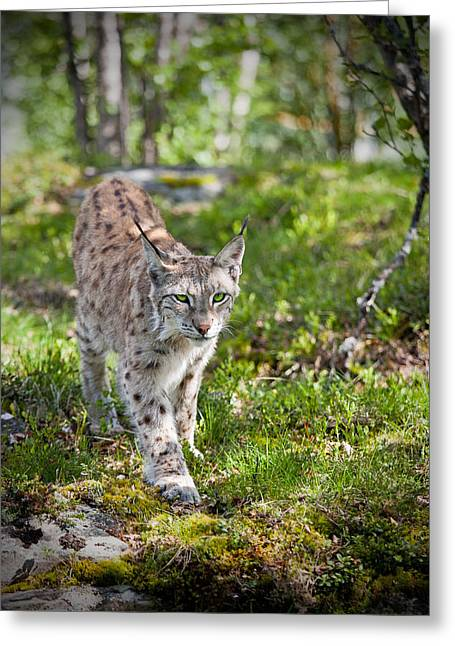 Approaching Lynx Greeting Card