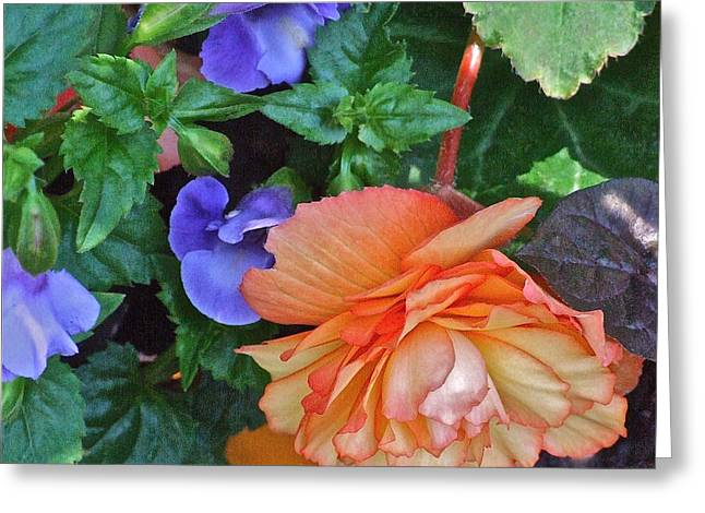 Apricot Begonia 1 Greeting Card