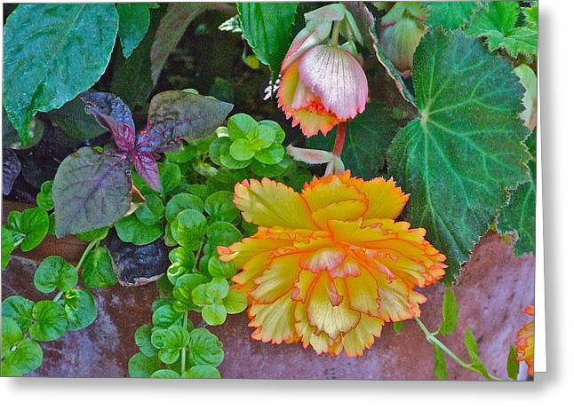 Apricot Begonia 3 Greeting Card