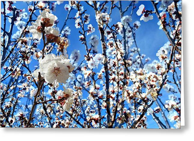 Apricot Blossoms Greeting Card by Glenn McCarthy Art and Photography