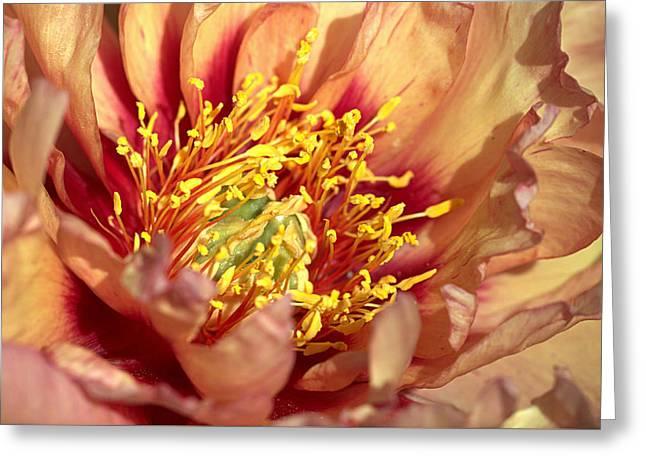 Apricot Peony Greeting Card by Joseph Skompski