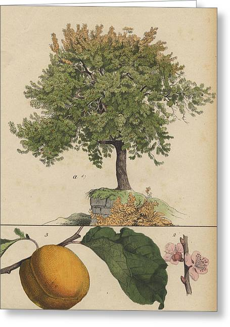Apricot Tree And Fruit Greeting Card by German Botanical Artist