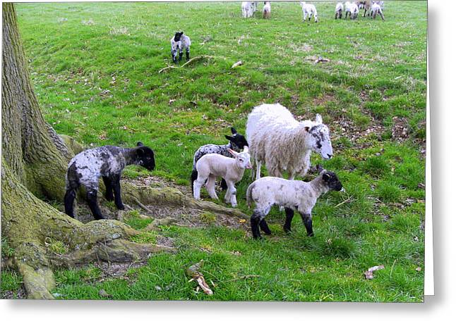 April Lambs Greeting Card by Mindy Newman