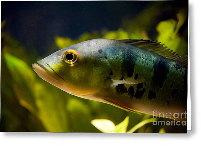 Aquarium Striped Fish Portrait Greeting Card by Arletta Cwalina