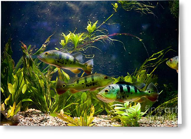 Aquarium Striped Fishes Group Greeting Card by Arletta Cwalina