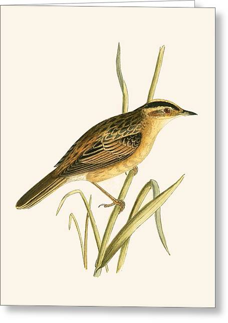 Aquatic Warbler Greeting Card