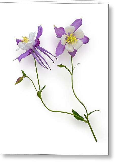 Aquilegia Specimen Greeting Card by Jane McIlroy