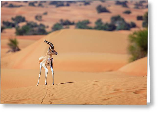 Greeting Card featuring the photograph Arabian Gazelle by Alexey Stiop