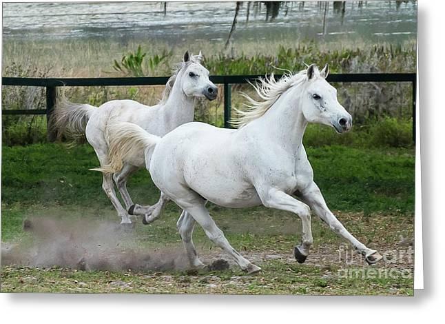 Arabian Horses Running Greeting Card