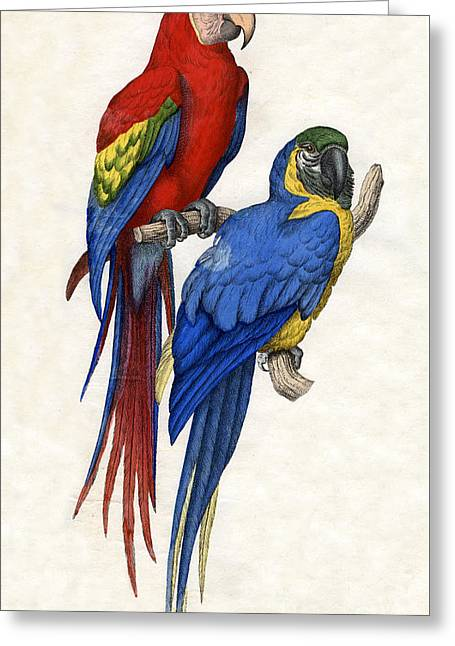 Aracangua And Blue And Yellow Macaw Greeting Card