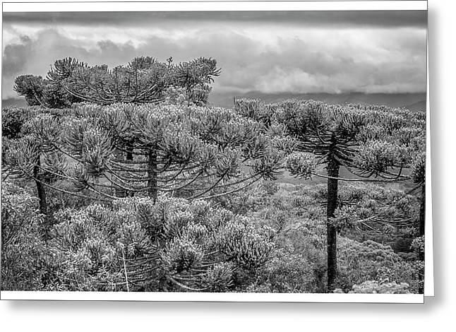 Araucaria Angustifolia-campos Do Jordao-sp Greeting Card