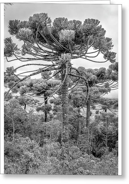 Araucaria Angustifolia-curi-campos Do Jordao-sp Greeting Card