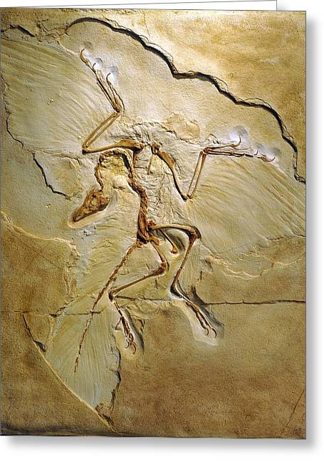 Paleozoology Greeting Cards - Archaeopteryx Fossil, Berlin Specimen Greeting Card by Chris Hellier