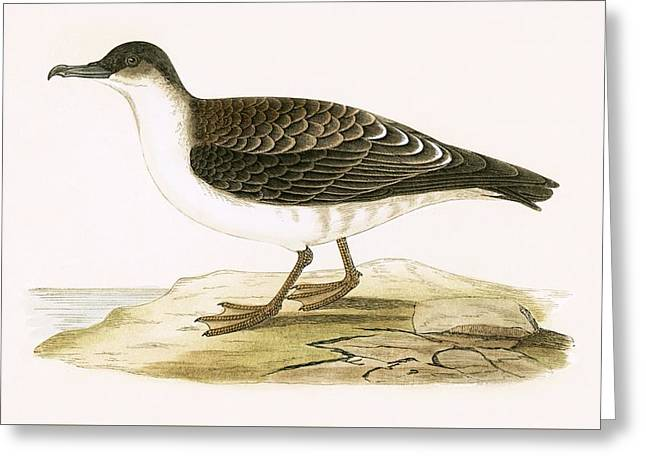 Arctic Cinereous Shearwater Greeting Card by English School