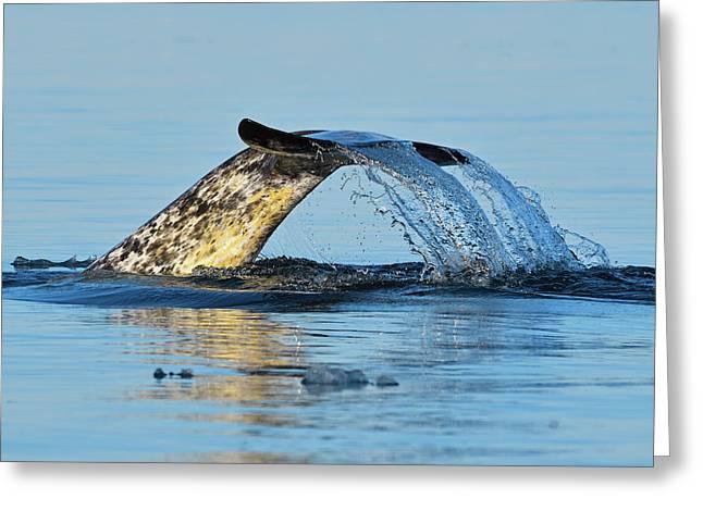 Arctic Fluke Greeting Card