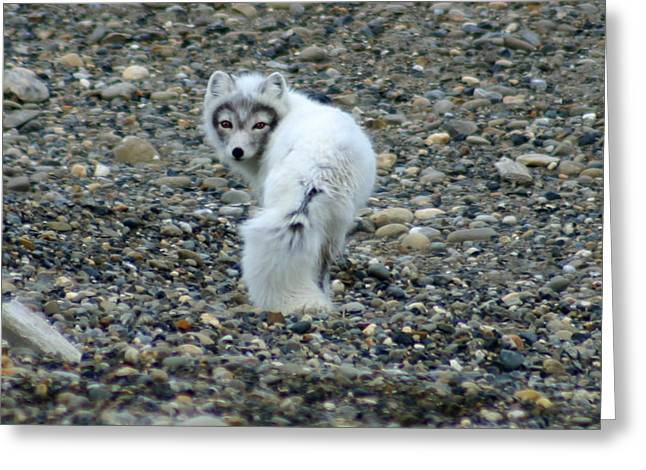 Arctic Fox Greeting Card by Anthony Jones
