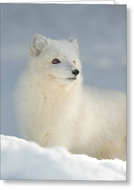 Arctic Fox In Winter Greeting Card by Andy Astbury