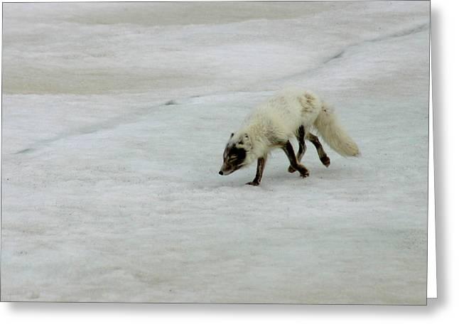 Arctic Fox On Ice Greeting Card by Anthony Jones