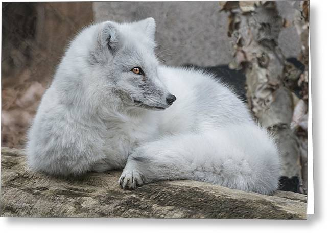 Arctic Fox Profile Greeting Card